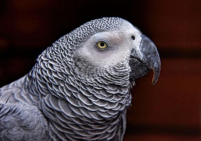 Papagáj sivý